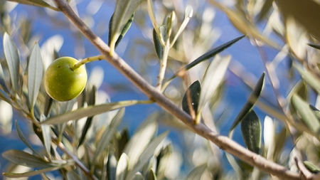 olive-519541_640